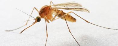 Crean mosquitos para combatir el dengue/ iStockphoto