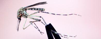 Liberan millones de mosquitos modificados genéticamente para combatir el dengue/ AP