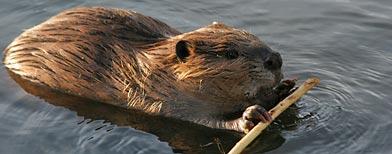 Diseñan un plan para combatir la plaga de castores en Tierra del Fuego / Foto: iStockphoto