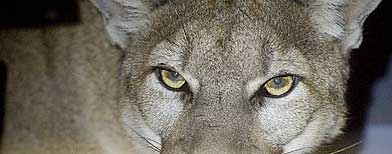 A trapped mountain lion pictured in California in this file photo. (AP PHOTO/ BILL DeBORD)