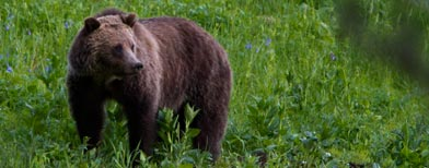 Grizzly bear at Yellowstone (AP)