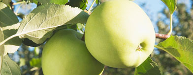 Apples on a tree (Thinkstock)