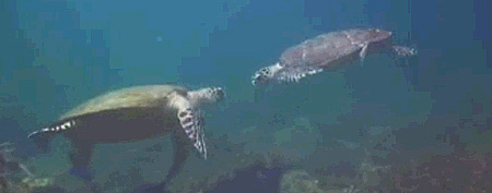 Sea turtles approach one another (Y! Sports screengrab)