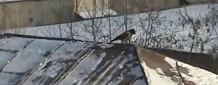 Sledding crow (Y! Sports screengrab)