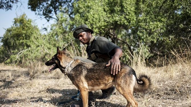 A member of the Kruger National Park Anti-Poaching K9 Unit and his dog patrol through the bush on June 23, 2015