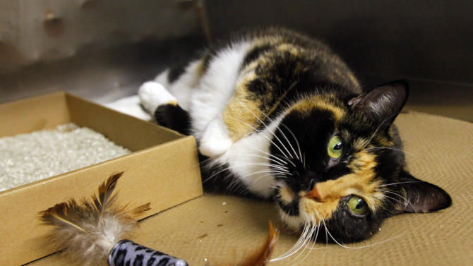 Willow, a 6-year calico cat that went missing from her Colorado home during a renovation 5 years ago, lies inside a cage at her temporary home on Wednesday, Sept. 14, 2011, in New York's Animal Care and Control (ACC) facility.  Willow, found as a stray in Manhattan and brought to ACC, had been tagged with an identification microchip and will soon be  reunited with her owners.   (AP Photo/Bebeto Matthews)