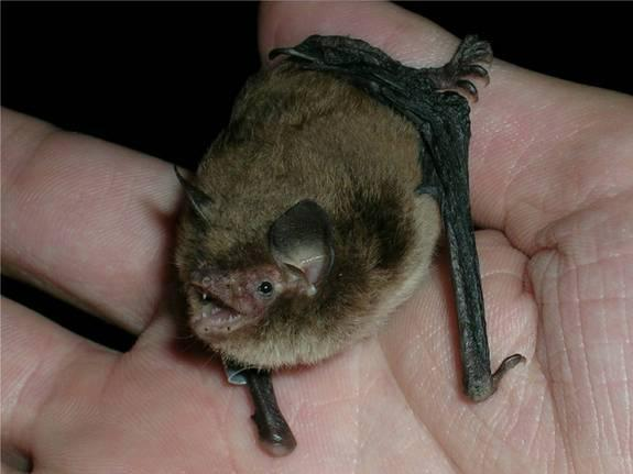 Bats Have Surprisingly Complex Family Life
