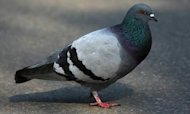 Radio-Controlled Pigeons Mooted By MI5