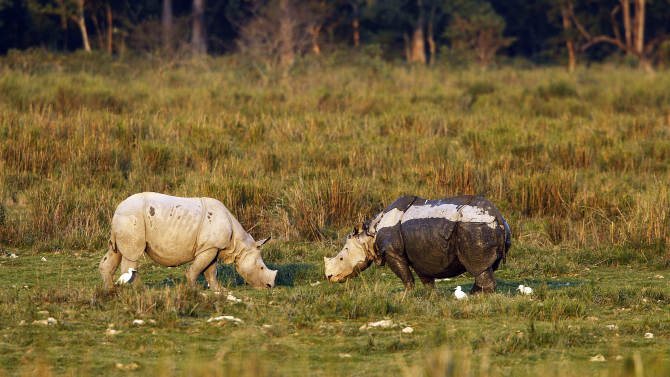 """In this Saturday, Dec. 1, 2012 photo, one-horned rhinoceroses graze inside the Kaziranga National Park, a wildlife reserve that provides refuge to more than 2,200 endangered Indian one-horned rhinoceros, in the northeastern Indian state of Assam. Even in this well protected reserve, where rangers follow shoot-to-kill orders, poachers are laying siege to """"Fortress Kaziranga,"""" attempting to sheer off the animals' horns to supply a surge in demand for purported medicine in China that's pricier than gold. A number of guards have been killed along with 108 poachers since 1985 while 507 rhino have perished by gunfire, electrocution or spiked pits set by the poachers, according to the park. (AP Photo/Anupam Nath)"""