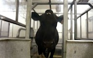 A cow quietly nibbles on feed. The sale of a bankrupt dairy farm group to a Chinese firm has sparked fears of a foreign land grab in New Zealand, as well as revealing what critics label a &quot;dark side&quot; of the national psyche