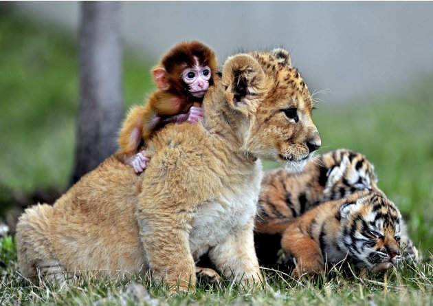 A baby monkey, a lion cub and tiger cubs play at the Guaipo Manchurian Tiger Park in Shenyang