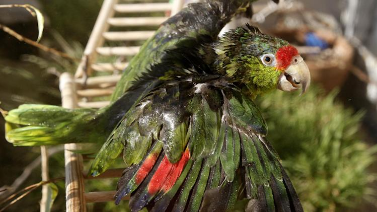 """In this photo taken on Tuesday, Feb. 8, 2012, """"Liberty"""" a rescue parrot gets a shower by Mira Tweti, Executive Director, National Parrot Care & Cage Xchange, (not seen in photo) in her apartment in the Marina Del Rey area of Los Angeles. (AP Photo/Damian Dovarganes)"""