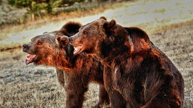 Montana company faces fines in fatal bear mauling