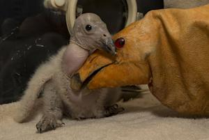 San Diego Zoo Welcomes Season's 1st Condor Chick