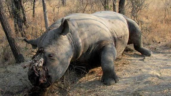 Man Tries to Save Rhinos with Toenail Clippings