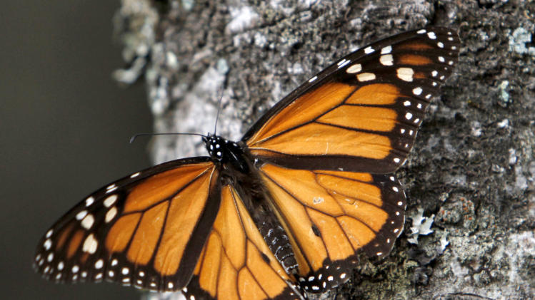 FILE - In this Dec. 9, 2011, file photo a Monarch butterfly sits on a tree trunk at the Sierra Chincua Sanctuary in the mountains of Mexico's Michoacan state. The amount of Monarch butterflies wintering in Mexico dropped 59 percent in 2013, falling to the lowest level since comparable record-keeping began 20 years ago, scientists reported Wednesday, March 13, 2013. (AP Photo/ Marco Ugarte, file)