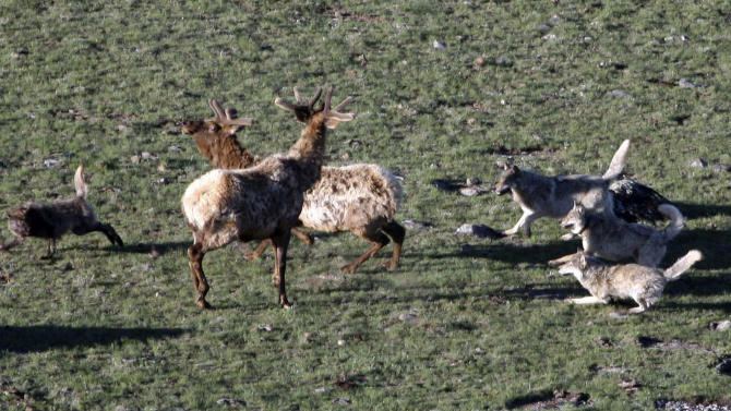 This May 2007 photo by National Park Service photographer Doug Smith shows a Leopold wolf pack hunting a bull elk in Yellowstone National Park, Wyo.  Restrictions on gray wolf harvests around Yellowstone are under consideration as the state prepares to kick off its inaugural wolf trapping season Dec. 15.  Conservation groups want limits on trapping after several wolves collared by park scientists for research were shot by Montana hunters in recent weeks.  (AP Photo/National Park Service, Doug Smith) -; Doug Smith; May 2007