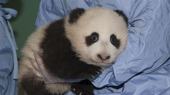 New Panda Picture: 'Little Gift' Gets Bigger