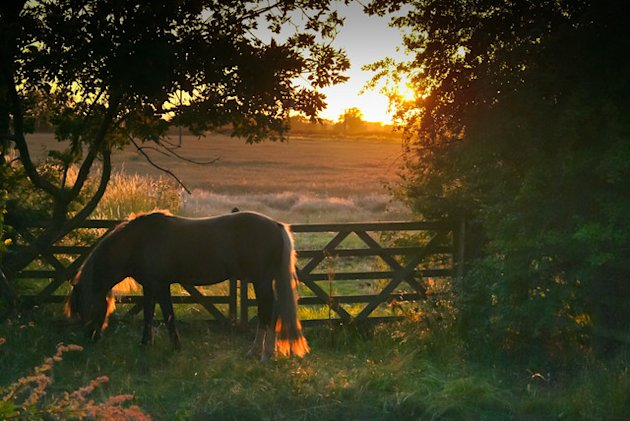 Welsh pony at dusk