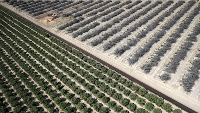 Field of dead almond trees is seen next to field of growing almond trees in Coalinga in the Central Valley