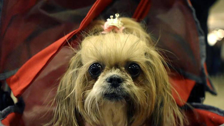 """A Miniature Schnauzer named """"Mocha"""" sits in a baby carriage while waiting in the lobby at the Hotel Pennsylvania Sunday, Feb. 10, 2013, across from Madison Square Garden, home to the Westminster Kennel Club Dog Show, which is Monday and Tuesday in New York.  (AP Photo/Kathy Willens)"""