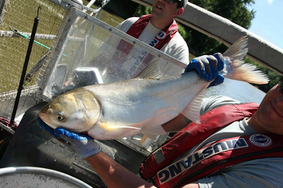 This June 22, 2012, photo shows Travis Schepker, a biology intern, holding an  Asian carp pulled from the Illinois River near Havana, Ill.  Scientists are monitoring native fish populations for signs of damage from Asian carp. (AP Photo/Robert Ray)