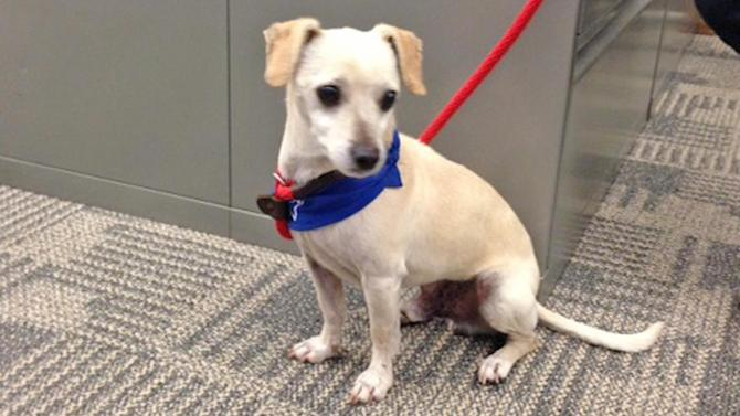 Pet of the Week: 7-year-old Chihuahua-mix named Ralph