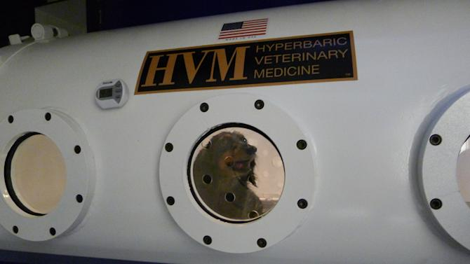 In this photo taken Jan. 25, 2013, a dachshund named Maggie is treated in a hyperbaric chamber for an infection and paw wound at the University of Florida's College of Veterinary Medicine, in Gainesville, Fla. Vets at the university here have used the chamber on dogs, cats, ferrets, rabbits and one monkey. UF veterinarian and professor Justin Shmalberg said the chamber is used to treat animals who have been bitten by rattlesnakes, hit by cars and who have infected wounds. (AP Photo/Tamara Lush)