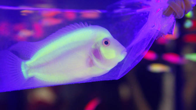 A genetically engineered Convict Cichlids (Amatitlania nigrofasciata) glows in a plastic bag inside a water tank during a new conference in Taipei