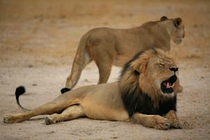 Cecil was a major tourist attraction at Zimbabwe's …