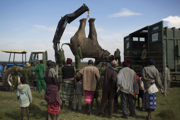 Locals watch as a sedated elephant is placed in a container on a truck by KWS wardens during a relocation exercise on the margins of the Ol Pejeta Conservancy in central Kenya
