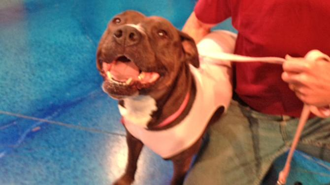 Pet of the Week: American Staffordshire Bull Terrier mix named Rhia