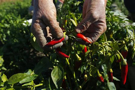 A woman picks red peppers in a field near Batya
