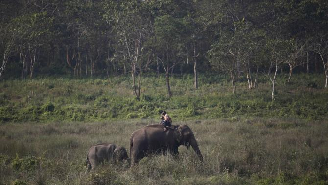 A mahout rides on his elephant as it grazes on the Chitwan National Park ahead of the Elephant festival at Sauraha in Chitwan