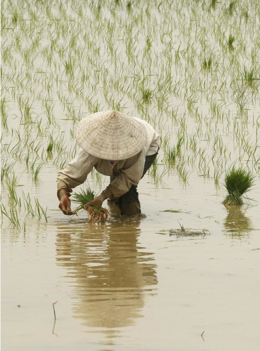 A farmer plants rice on a paddy field in Nguyen Xa village, outside Hanoi