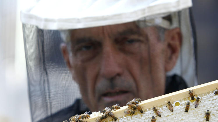 In this photo taken Tuesday, July 12, 2011, beekeeper Michael Thompson examines a small section of a beehive frame, consisting of a beeswax comb, honey, brood and pollen, on top of City Hall in Chicago. Beekeeping is thriving in cities across the nation, driven by young hobbyists and green entrepreneurs. Honey from city hives makes its way onto swanky restaurant kitchens and behind the bar where it's mixed into cocktails or stars as an ingredient in mead.  (AP Photo/Charles Rex Arbogast)