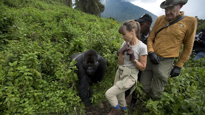 """In this photo taken Friday, Sept. 4, 2015, tourists Sarah and John Scott from Worcester, England, take a step back as a male silverback mountain gorilla from the family of mountain gorillas named Amahoro, which means """"peace"""" in the Rwandan language, unexpectedly steps out from the bush to cross their path in the dense forest on the slopes of Mount Bisoke volcano in Volcanoes National Park, northern Rwanda. Deep in Rwanda's steep-sloped forest, increasing numbers of tourists are heading to see the mountain gorillas, a subspecies whose total population is an estimated 900 and who also live in neighboring Uganda and Congo, fueling an industry seen as key to the welfare of the critically endangered species as well as Rwanda's economy. (AP Photo/Ben Curtis)"""