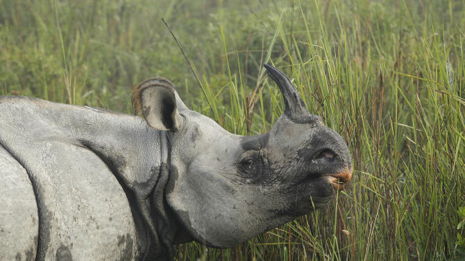 """In this Monday, Dec. 3, 2012 photo, a one-horned rhinoceros grazes inside the Kaziranga National Park, a wildlife reserve that provides refuge to more than 2,200 endangered Indian one-horned rhinoceros, in the northeastern Indian state of Assam. Even in this well protected reserve, where rangers follow shoot-to-kill orders, poachers are laying siege to """"Fortress Kaziranga,"""" attempting to sheer off the animals' horns to supply a surge in demand for purported medicine in China that's pricier than gold. A number of guards have been killed along with 108 poachers since 1985 while 507 rhino have perished by gunfire, electrocution or spiked pits set by the poachers, according to the park. (AP Photo/Anupam Nath)"""