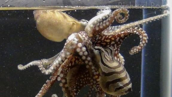 Rare Kissing Octopus Unveiled For the First Time