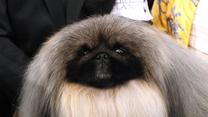 Malachy, a Pekingese, sits in the trophy after being named best in show during the 136th annual Westminster Kennel Club dog show, Tuesday, Feb. 14, 2012, in New York. (AP Photo/Jason DeCrow)