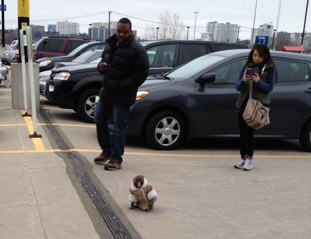 A small monkey wearing a winter coat and a diaper wanders around an IKEA parking lot in Toronto, as customers take pictures. The monkey let itself out of its crate in a parked car and went for a walk.