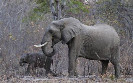 Elephants graze inside Zimbabwe's Hwange National Park