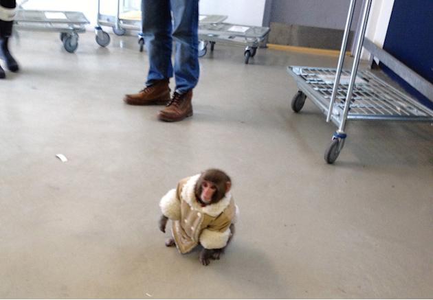 In this Sunday, Dec. 9, 2012 photo provided by Bronwyn Page, a small monkey wearing a winter coat and a diaper wanders around at an IKEA in Toronto. The monkey let itself out of its crate in a parked