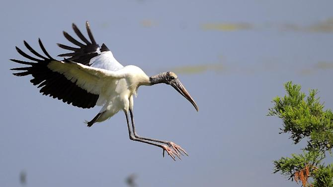 "An adult wood stork lands on a branch during a tour by U.S. Interior Secretary Sally Jewell in Townsend, Ga., Thursday, June 26, 2014. Jewell announced Thursday that the federal government is upgrading the wood stork to a ""threatened"" species, a step up from endangered that indicates the birds are no longer considered at risk of extinction. (AP Photo/Stephen B. Morton)"