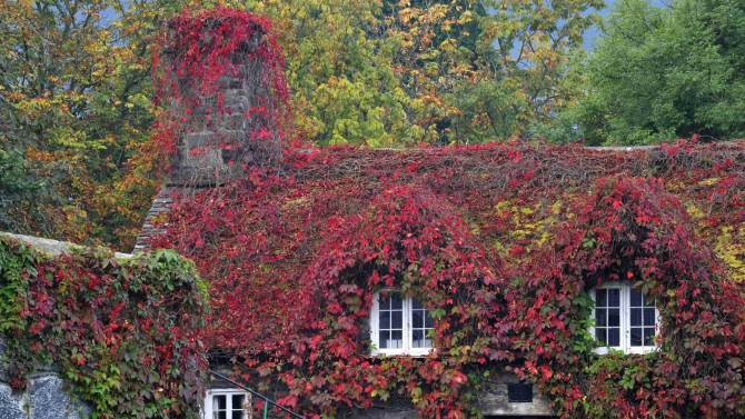 The  Virginia Creeper covering a 15th-century cottage housing the Tu Hwnt IOr Bont tearoom has turned to copper red as Autumn approaches, in Llanrwst, North Wales