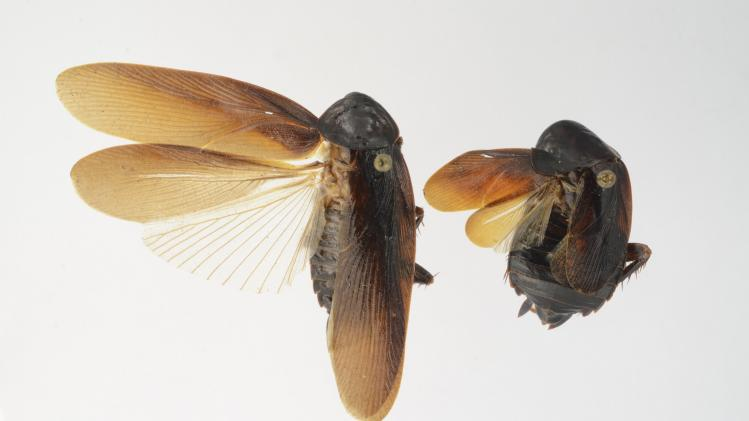 University of Florida photo shows male and female cockroach of the species Periplaneta japonica found on New York City's high line