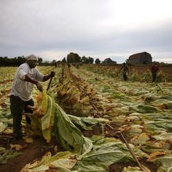 Nonprofit Pioneers Model To Help Struggling Tobacco Farmers Expand Business