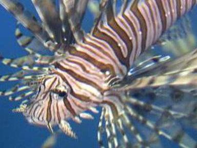 Lionfish Devour Native Species As Population Explodes