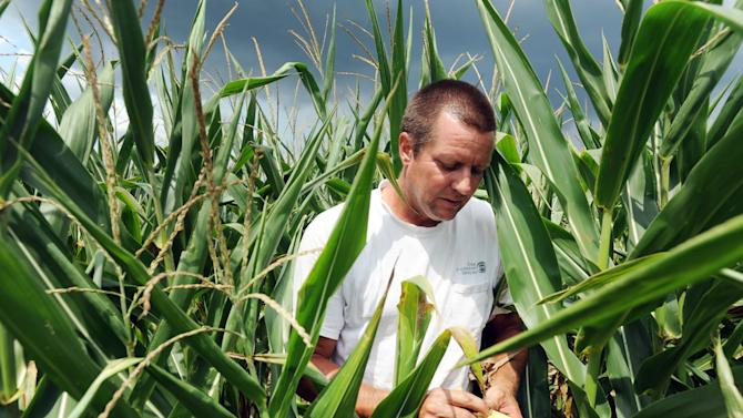 """FILE - In this Thursday, July 12, 2012 file photo, Joe Fischer checks on his corn field in Owensboro, Ky. """"We've been in a drought for the last three weeks,"""" he said. Fischer farms the property with his brother Tony Fischer. They planted 900 acres of corn with 30,000 plants per acre. """"We have no idea what our yield will be,"""" Joe Fischer said. U.S. Agriculture Secretary Tom Vilsack designated 26 Kentucky counties among more than 900 counties in 29 states as disaster areas. (AP Photo/Messenger-Inquirer, John Dunham)"""