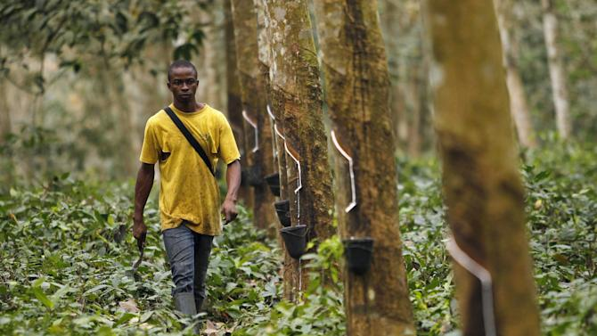 A worker walks down a row of rubber trees as he prepares to collects rubber sap at a farm in Songon village, north of Abidjan